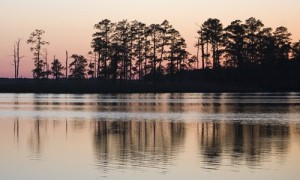 Loblolly_Pine_page_image